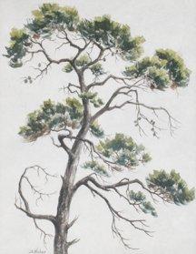 Bernice Huber, Untitled Monterey Pine